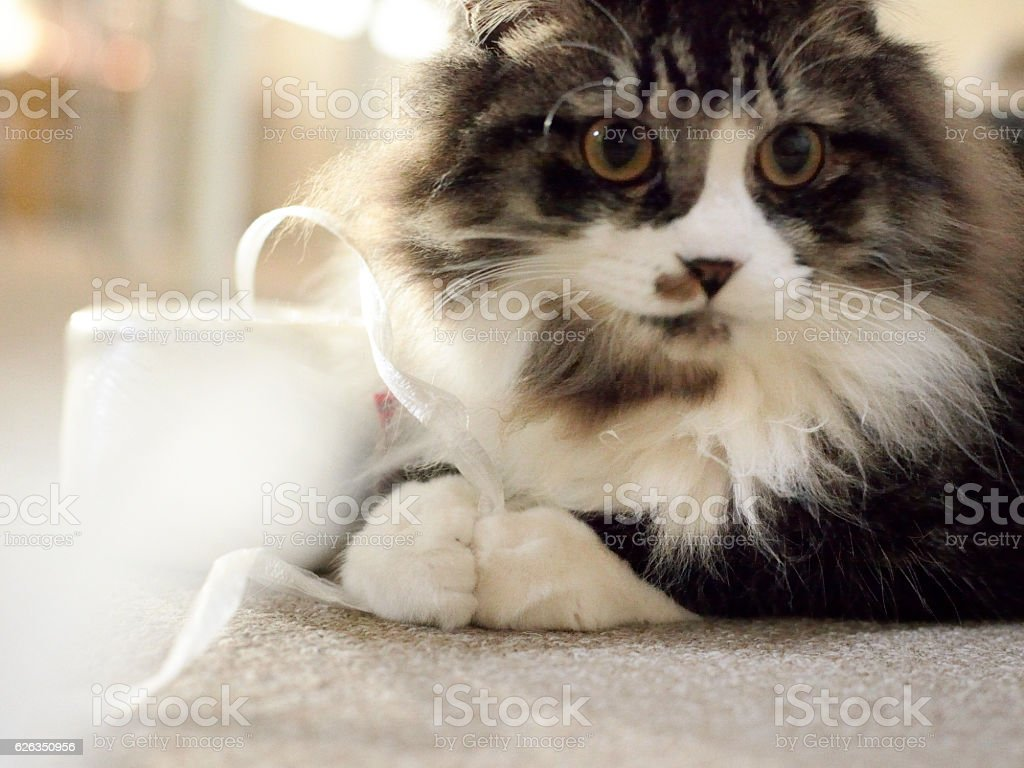 Jade wrapping PP packing string and cat stock photo