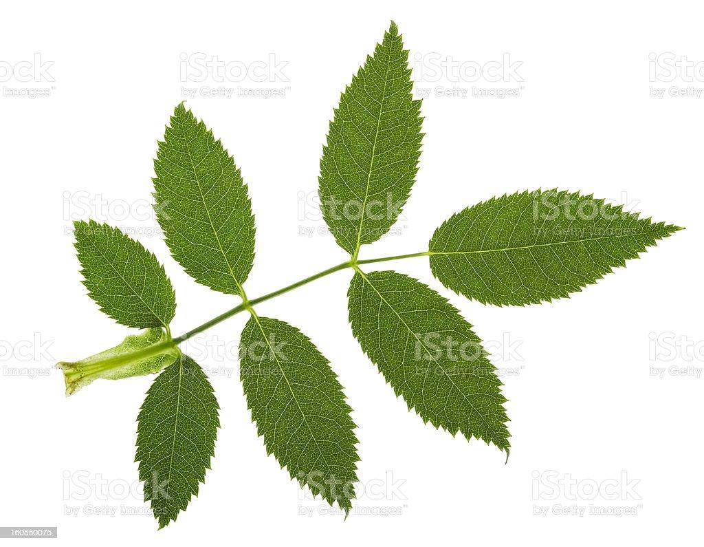 jagged leaf royalty-free stock photo