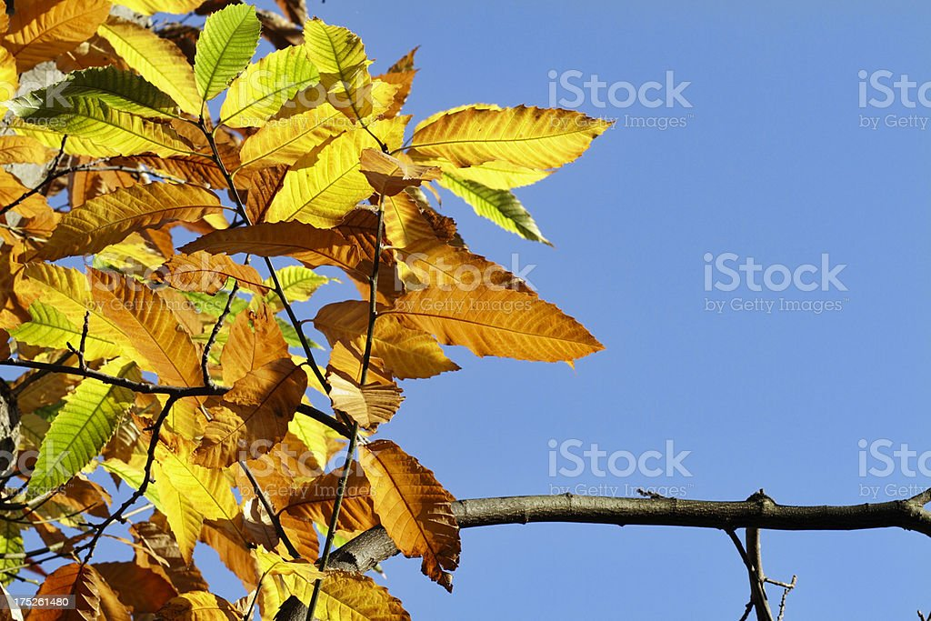 Yellow autumn leaves of sweet chestnut Castanea sativa royalty-free stock photo