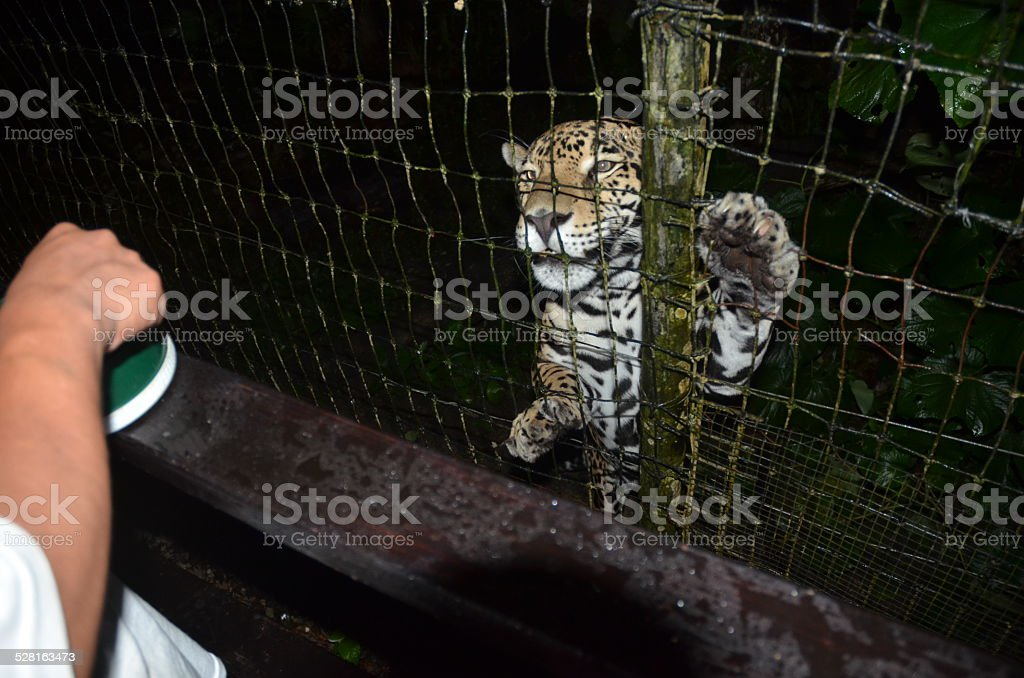 Jaguar About to be Fed royalty-free stock photo