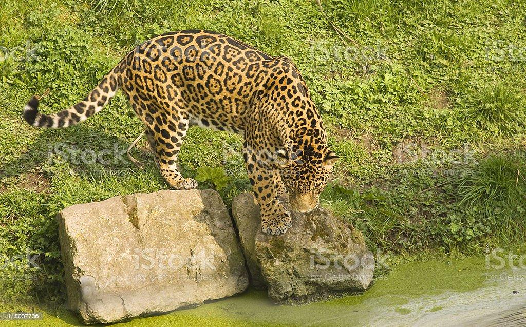 Jaguar at Waterhole royalty-free stock photo