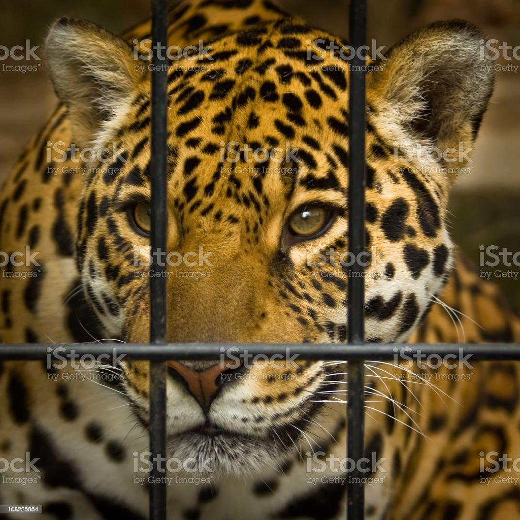 Jaguar Behind Cage Bars royalty-free stock photo