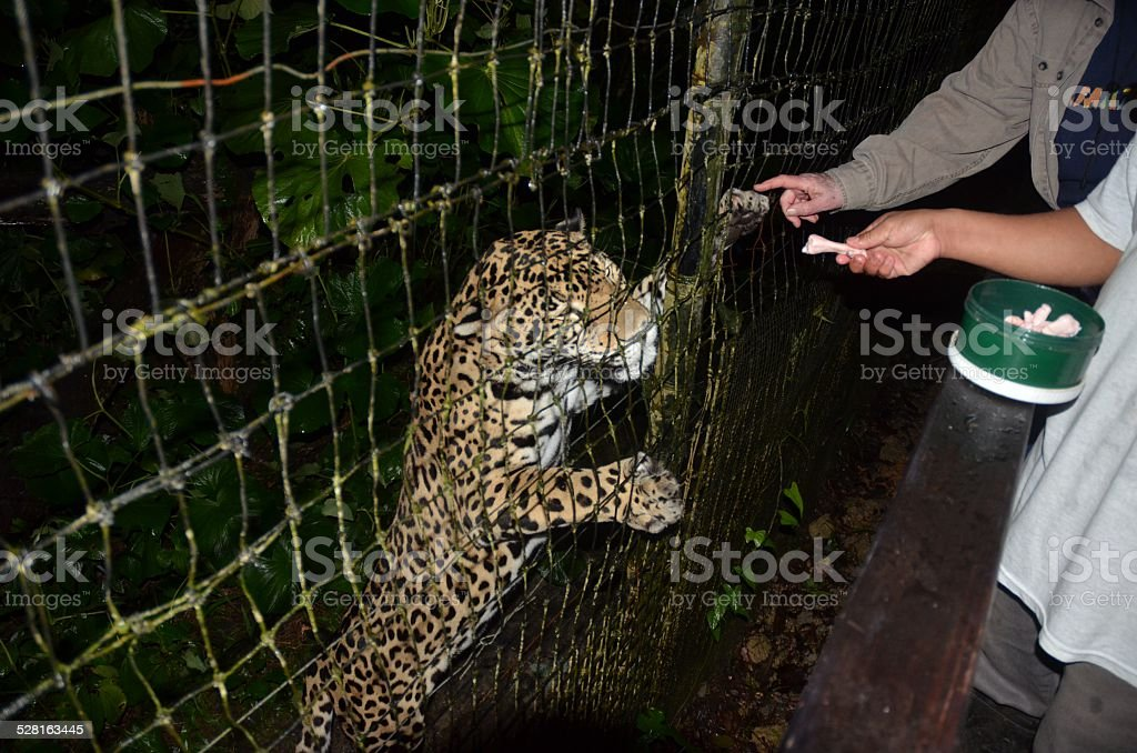 Jaguar Being Fed and Touched on Paw royalty-free stock photo
