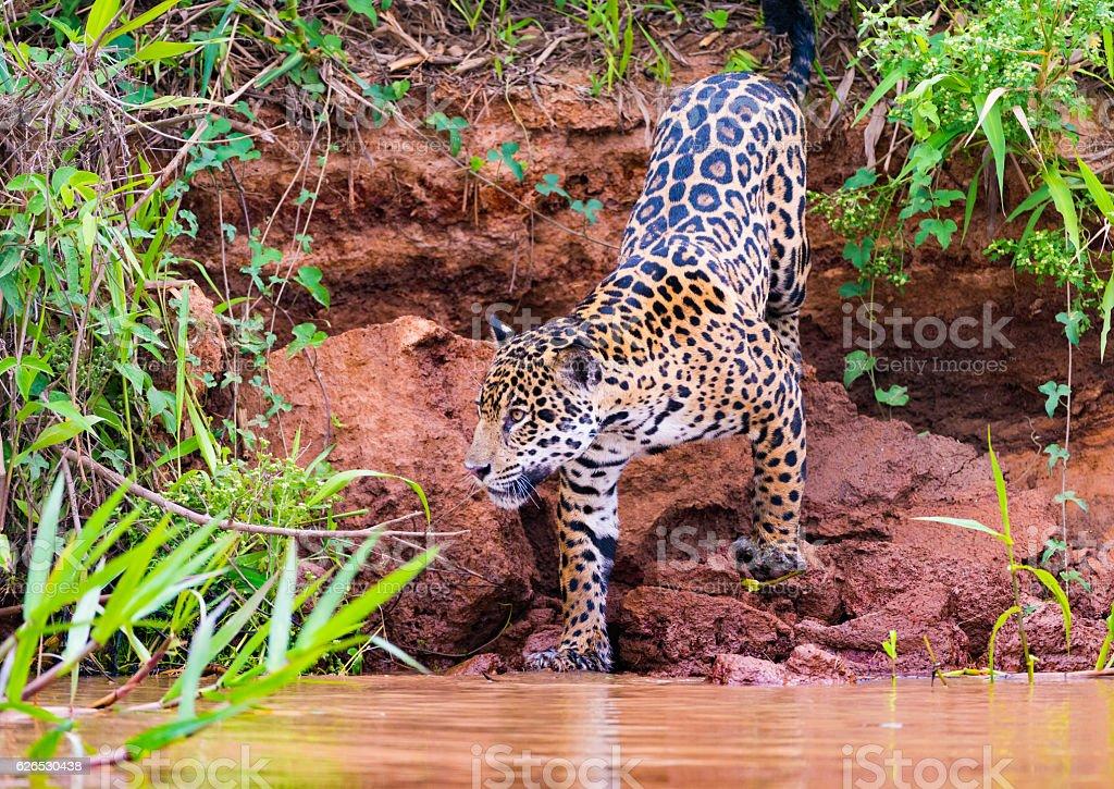 Jaguar climbing down river bank royalty-free stock photo