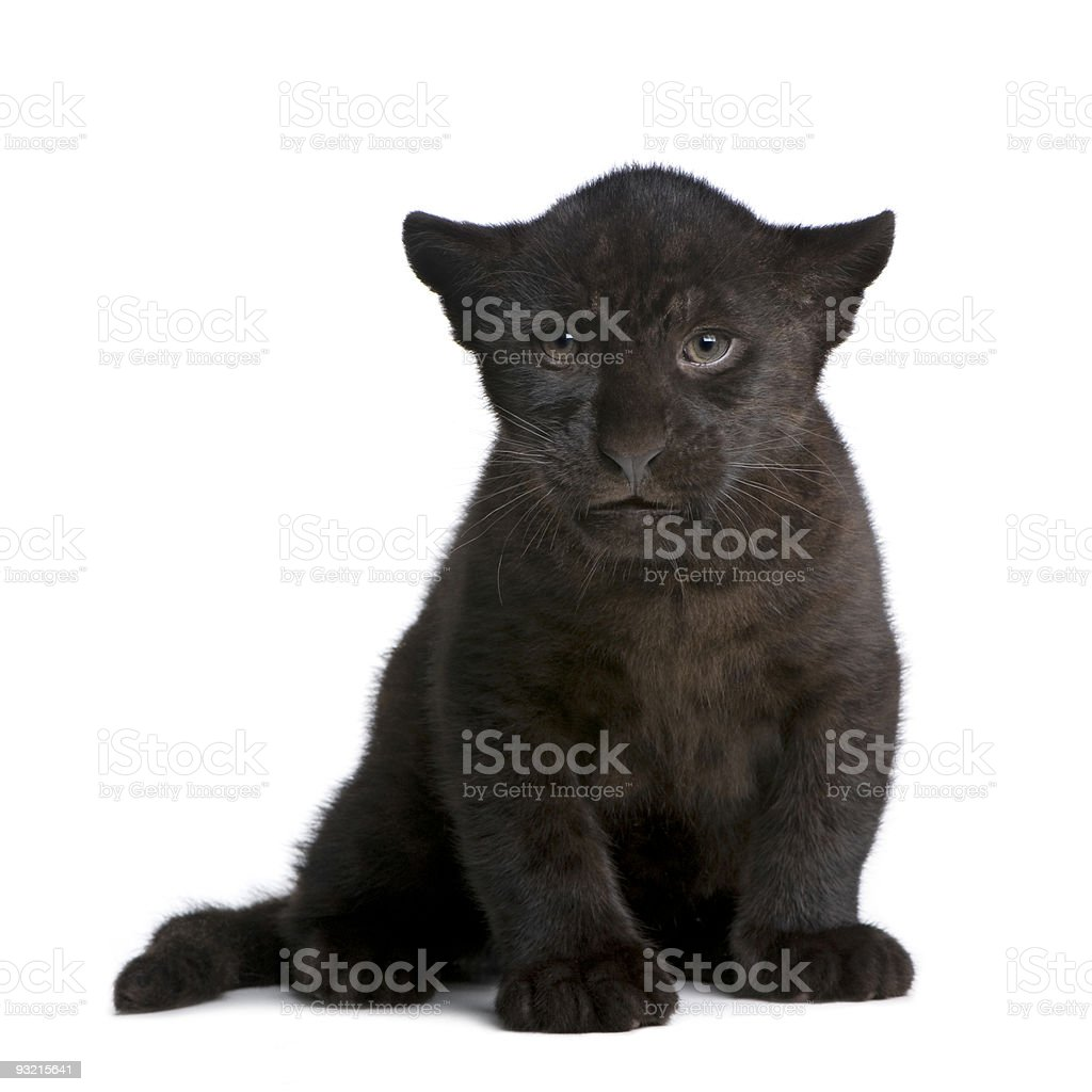 Jaguar cub (2 months) - Panthera onca stock photo