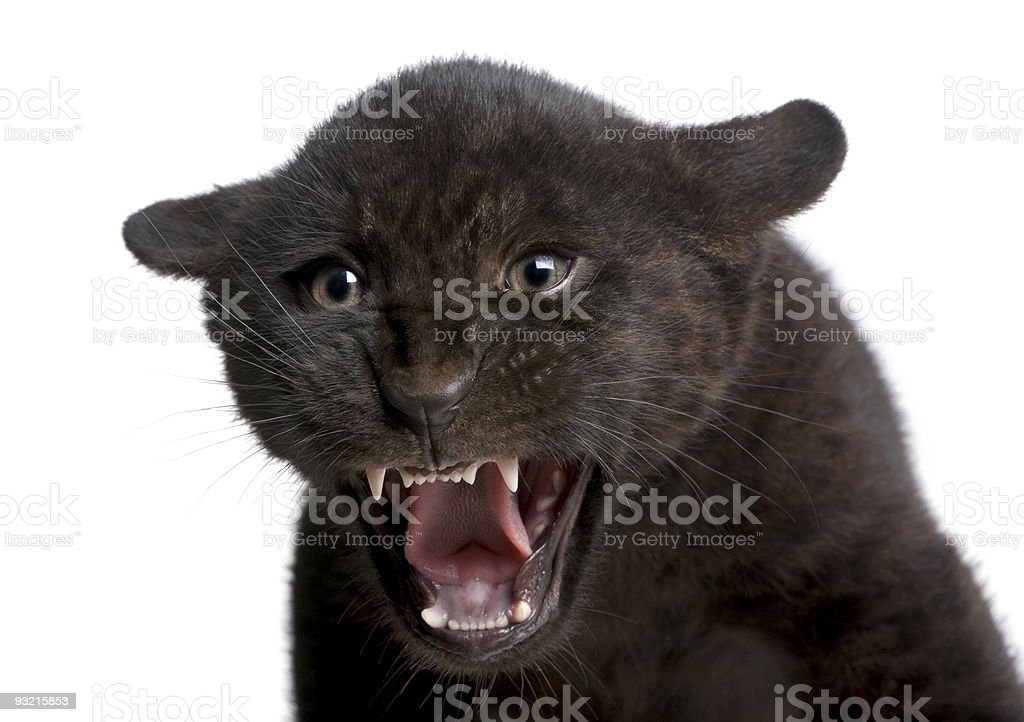 Jaguar cub (2 months) - Panthera onca royalty-free stock photo