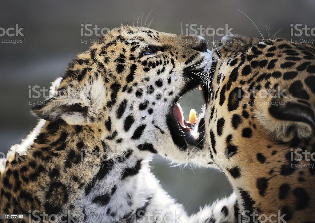 jaguar cubs royalty-free stock photo