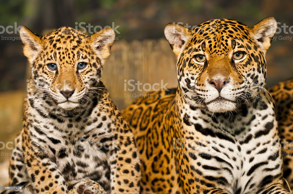 Jaguar Family royalty-free stock photo