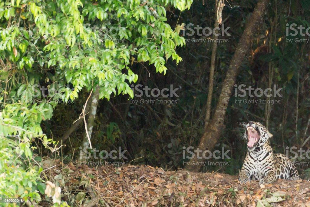 Jaguar from Pantanal, Brazil stock photo