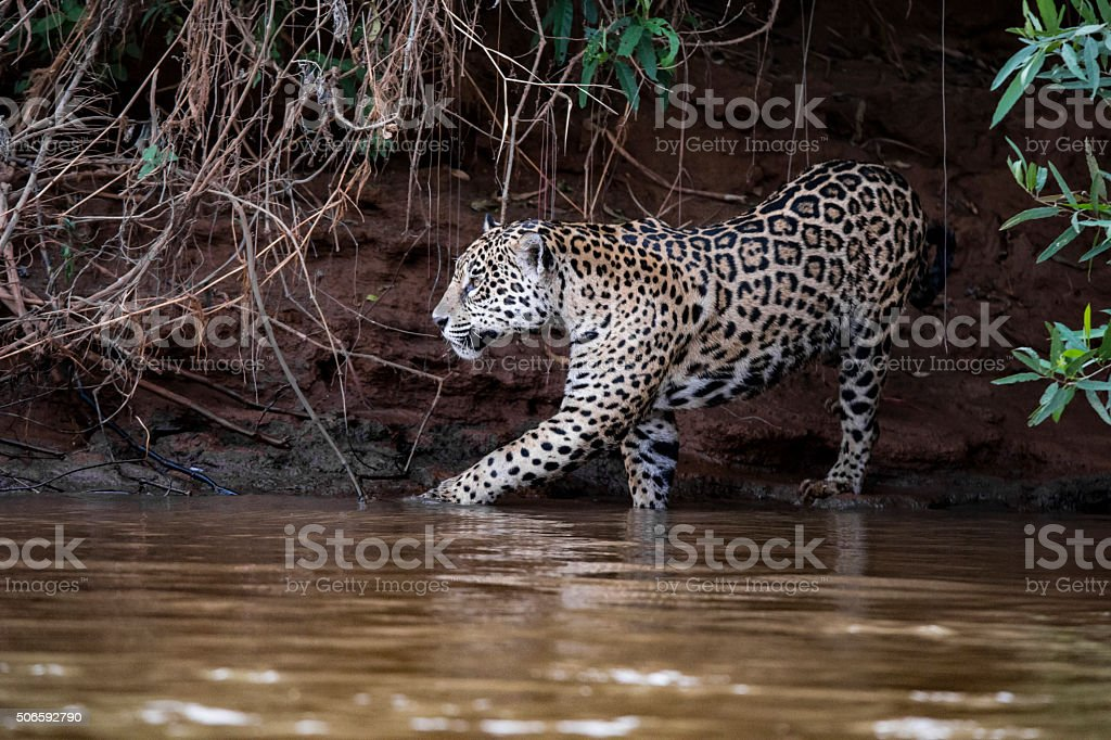 Jaguar going for a bath in the Cuiaba river stock photo