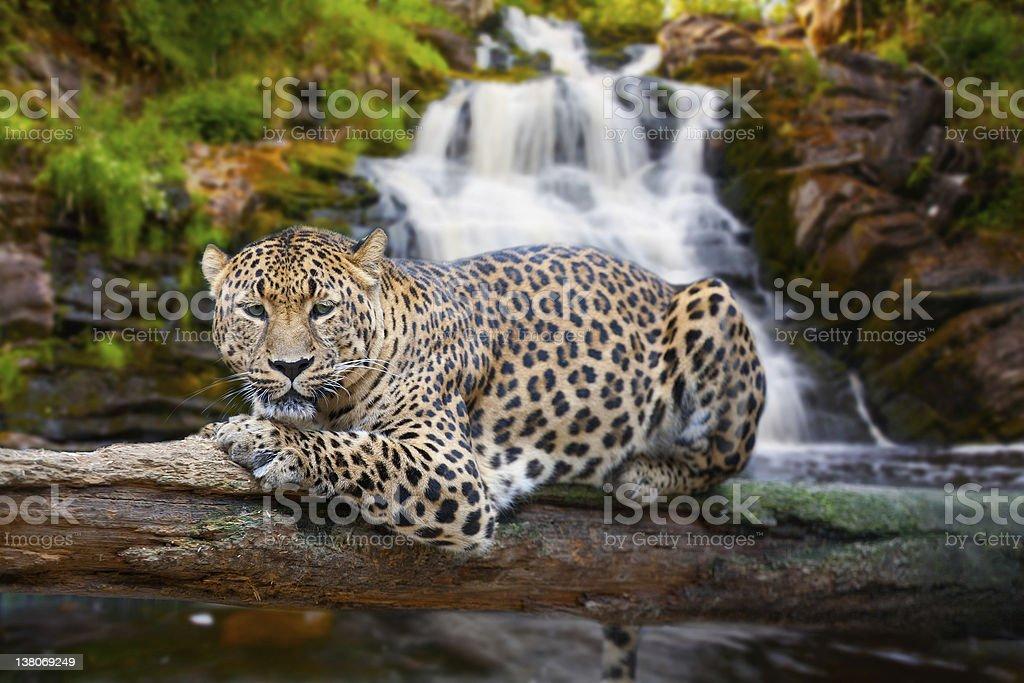 jaguar has a rest against falls stock photo