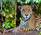 Jaguar Head and Shoulders