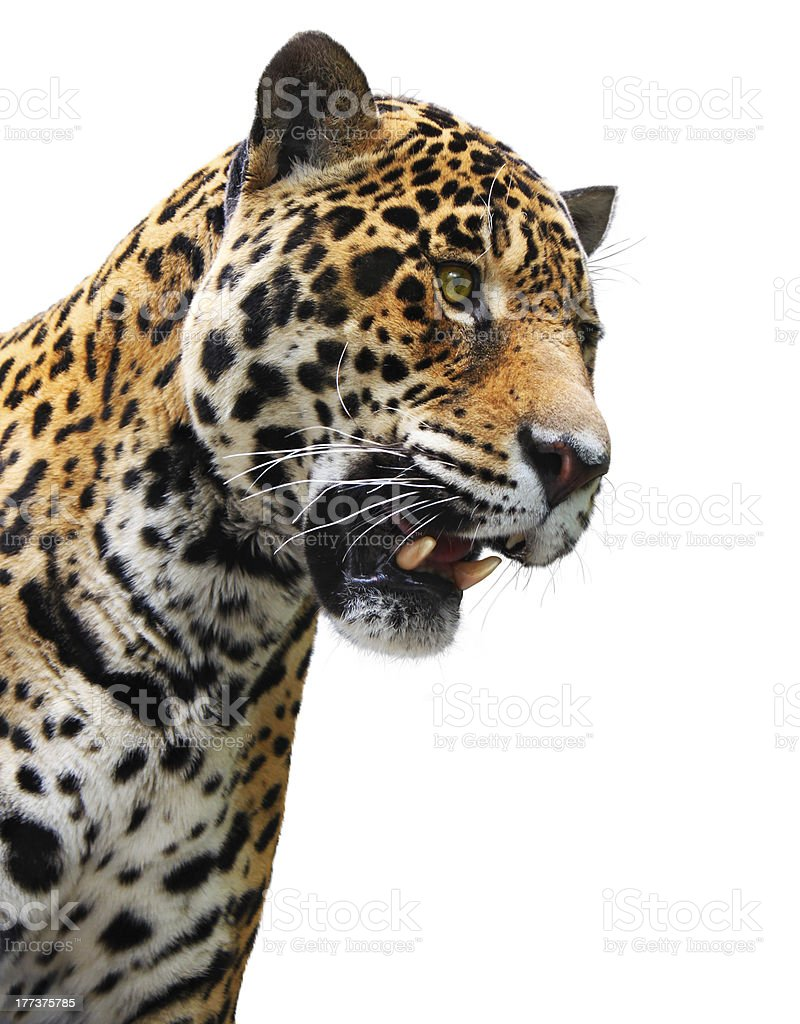 Jaguar head, wild animal isolated on white stock photo