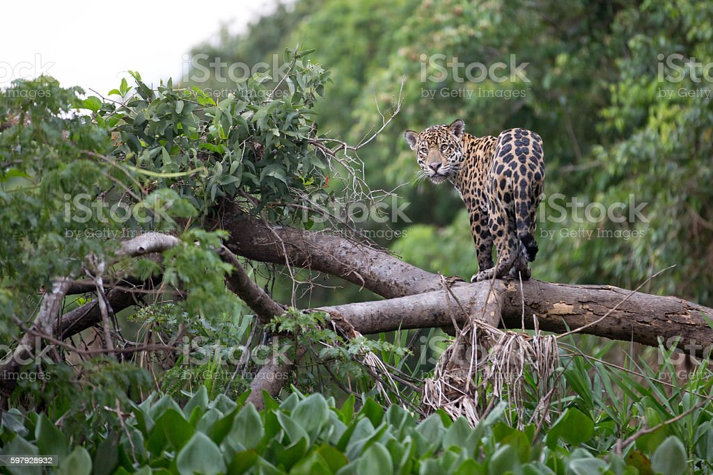 Jaguar in Brazilian Pantanal stock photo