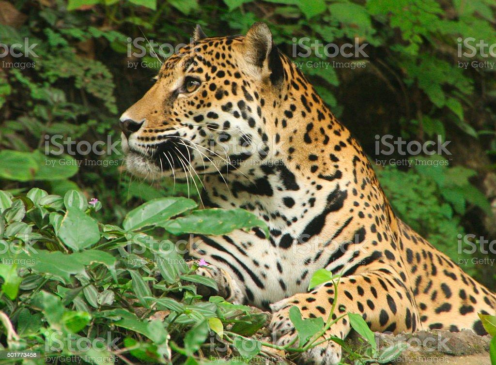 Jaguar in Guatemala stock photo