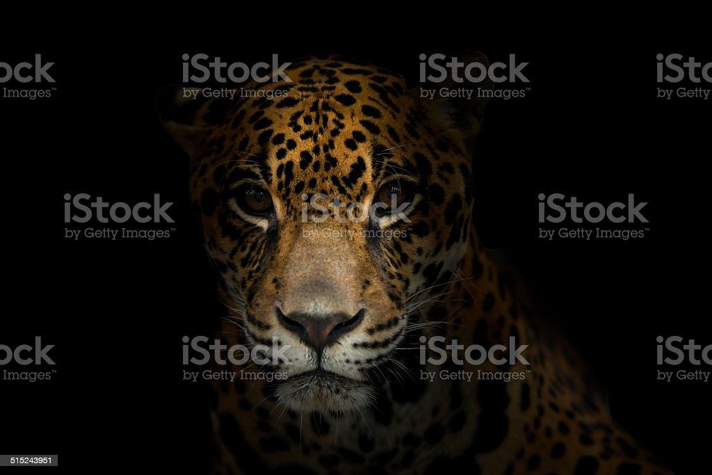 jaguar ( Panthera onca ) in the dark royalty-free stock photo
