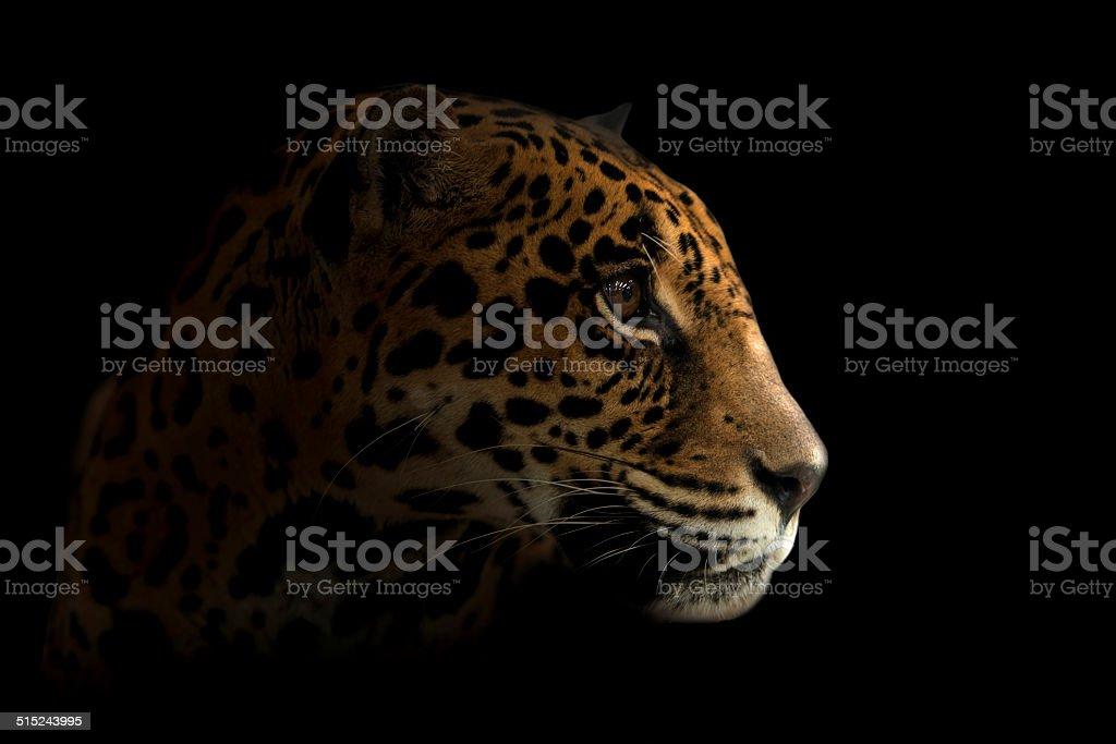 jaguar ( Panthera onca ) in the dark stock photo