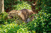 Jaguar is roaring.