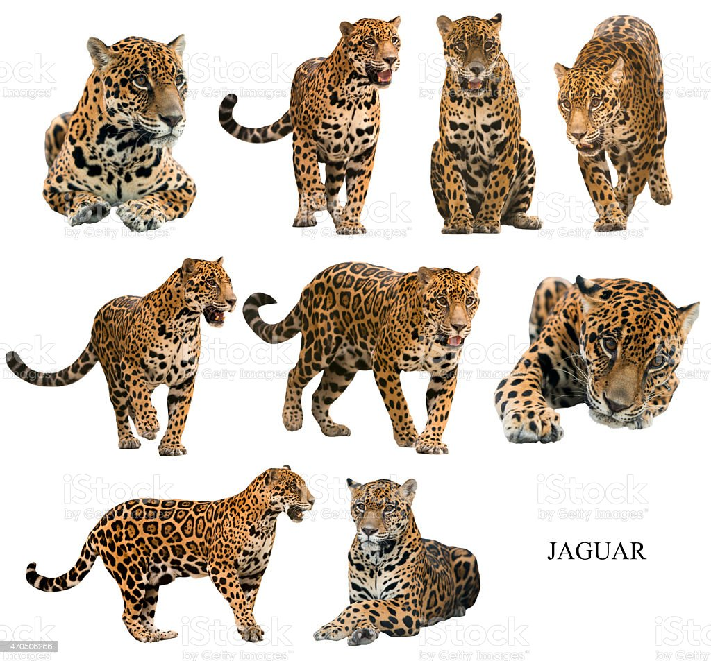 jaguar ( panthera onca ) isolated stock photo