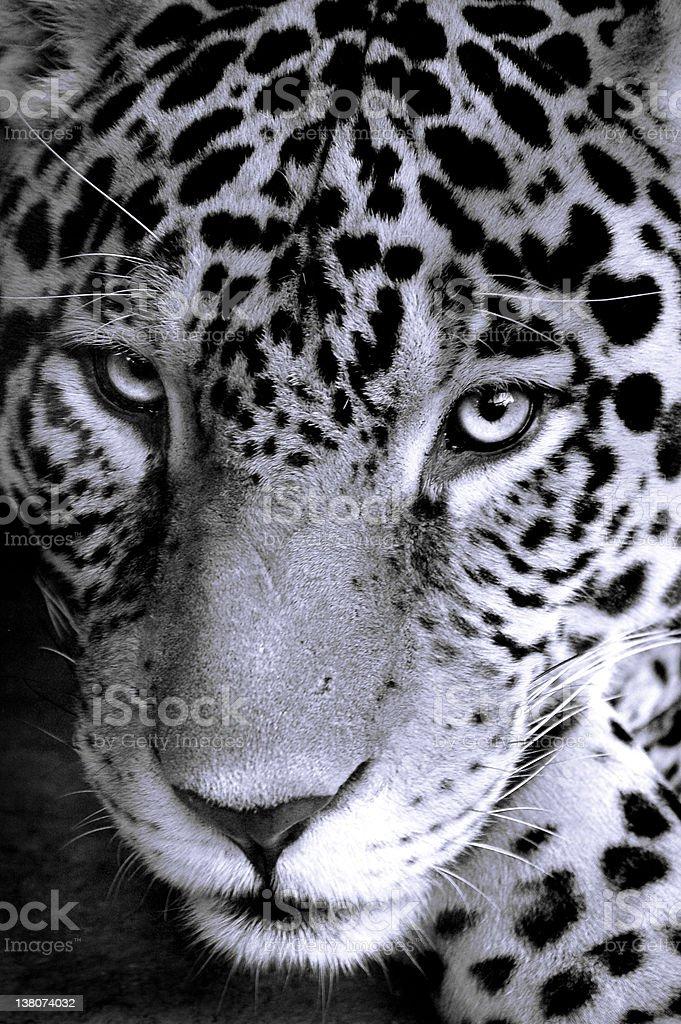 Jaguar iStockphoto black and white Cat royalty-free stock photo