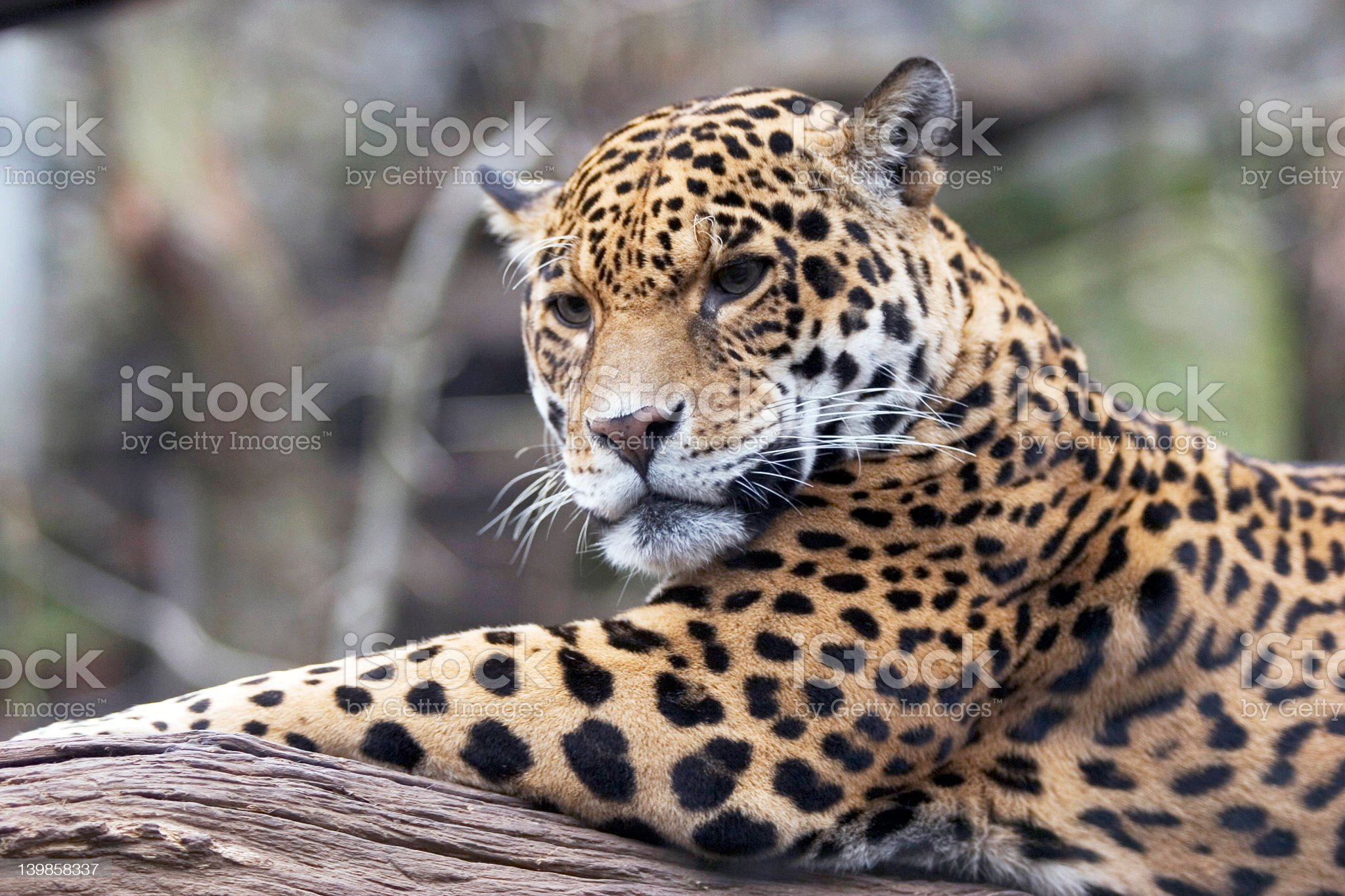 A jaguar laying on a piece of wood looking focused royalty-free stock photo