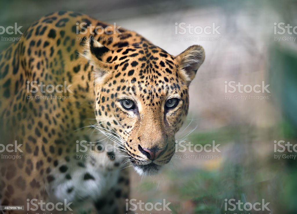 Jaguar looking at camera, shallow depth of field stock photo