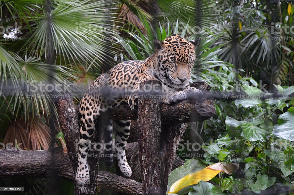 Jaguar Lying on Log at Zoo royalty-free stock photo