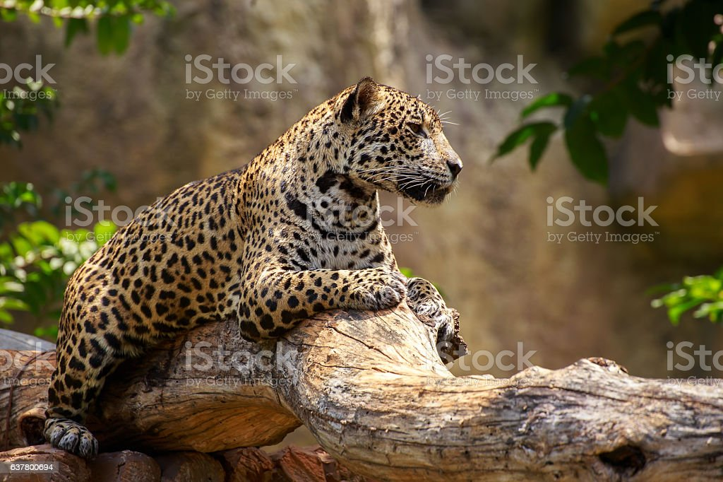 Jaguar on a branch. stock photo