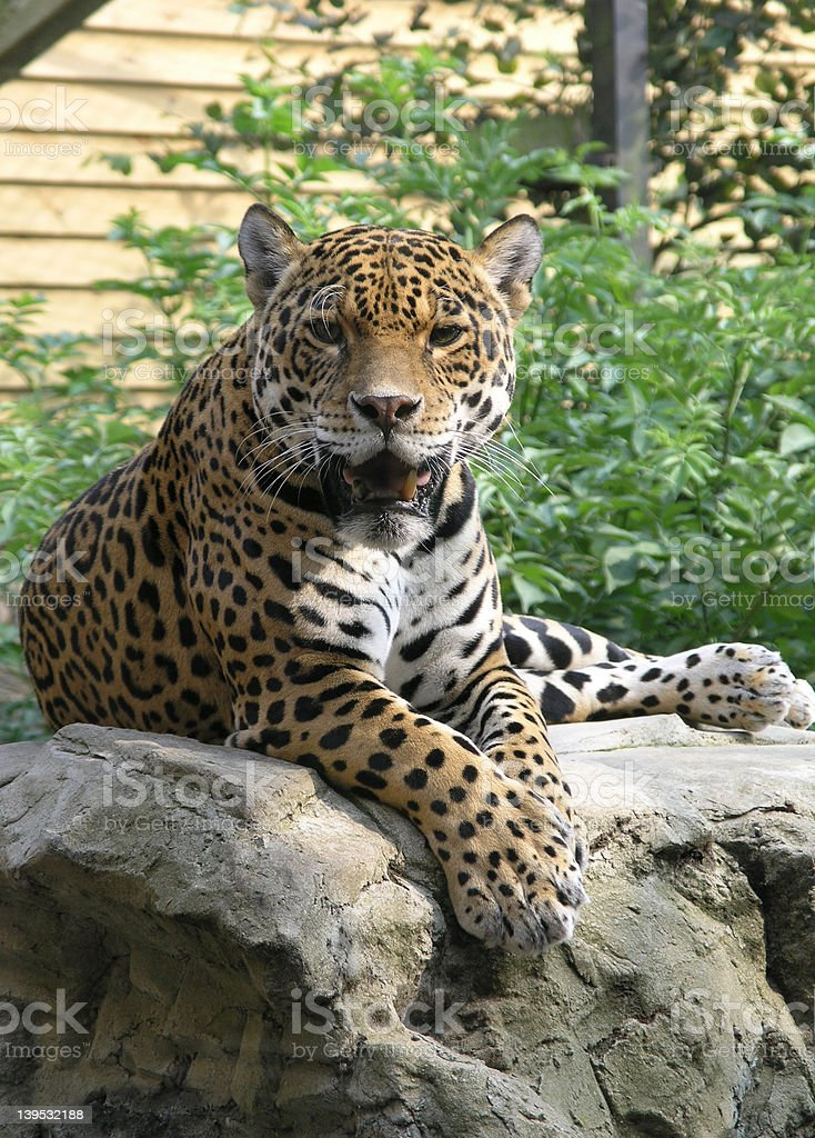 jaguar on rock royalty-free stock photo