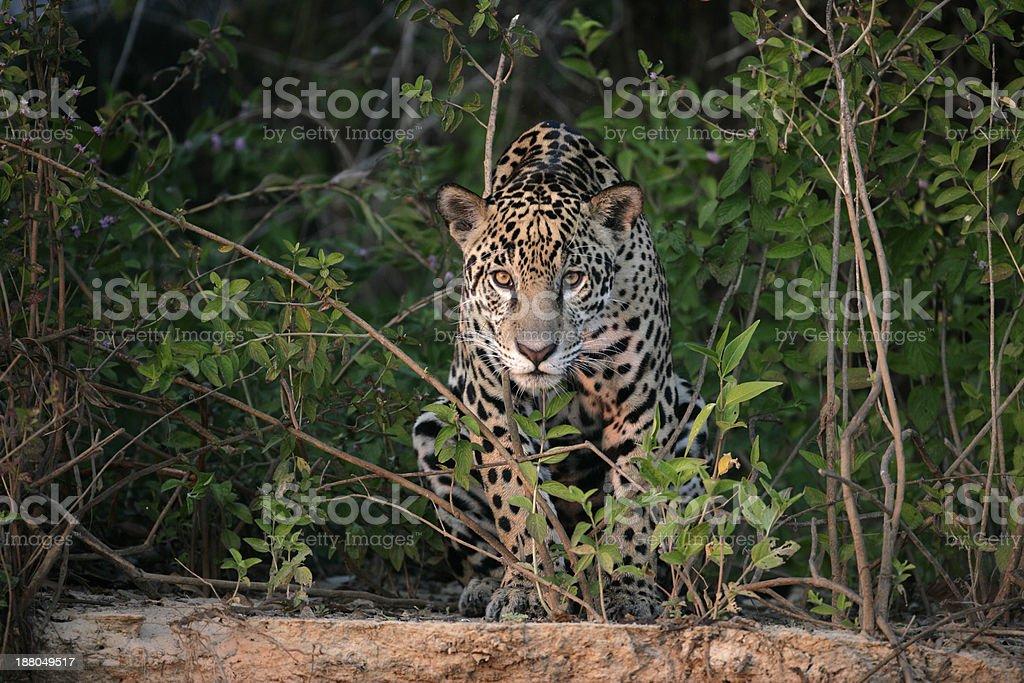 Jaguar, Panthera onca stock photo