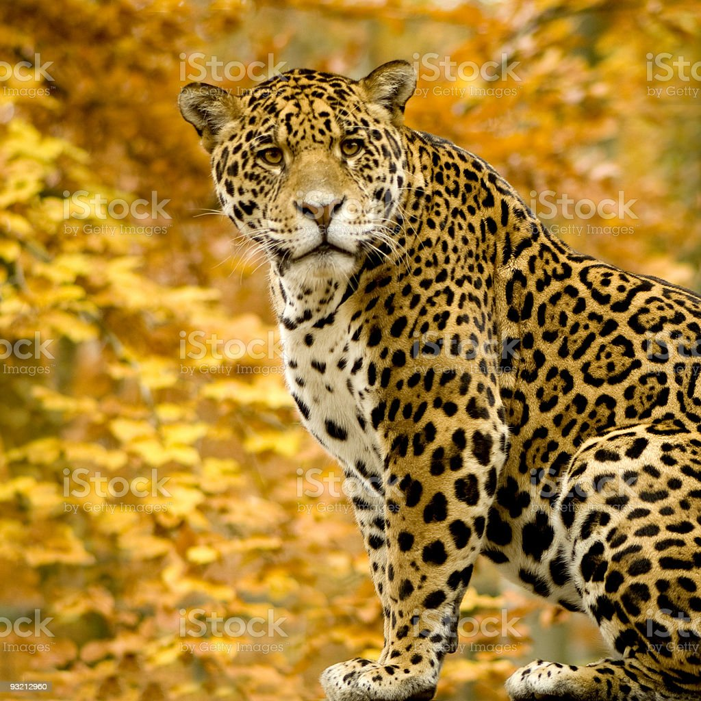Jaguar - Panthera onca royalty-free stock photo