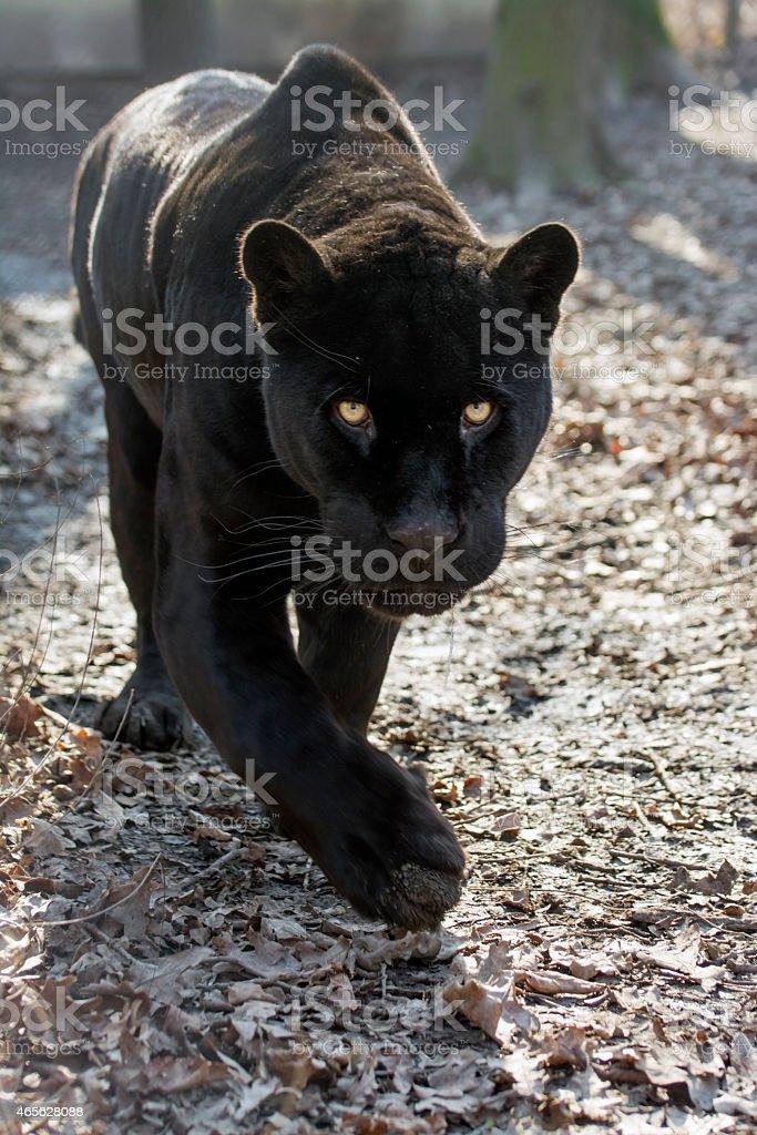 Jaguar (Panthera onca) stock photo
