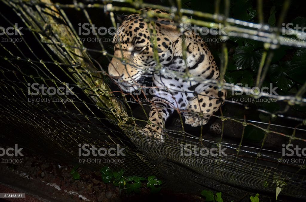 Jaguar Pushing Against Wire Fence royalty-free stock photo