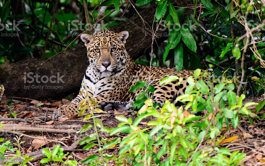 jaguar resting in the shade stock photo