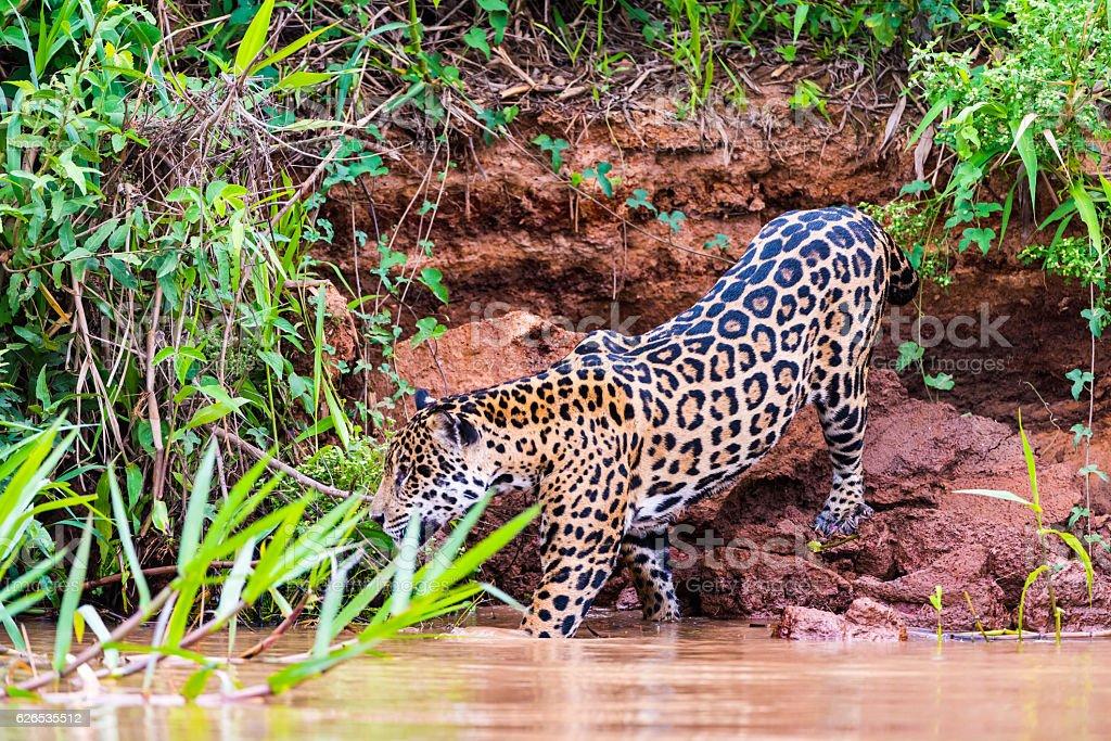 Jaguar walking on river bank royalty-free stock photo