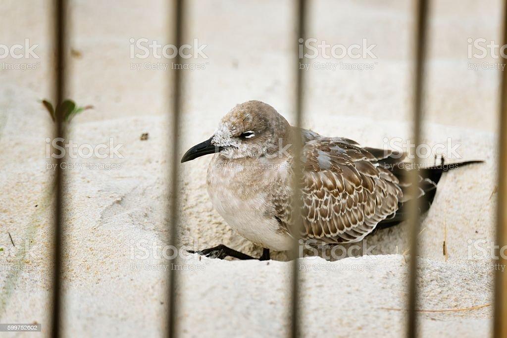 Jailed Laughing Gull stock photo