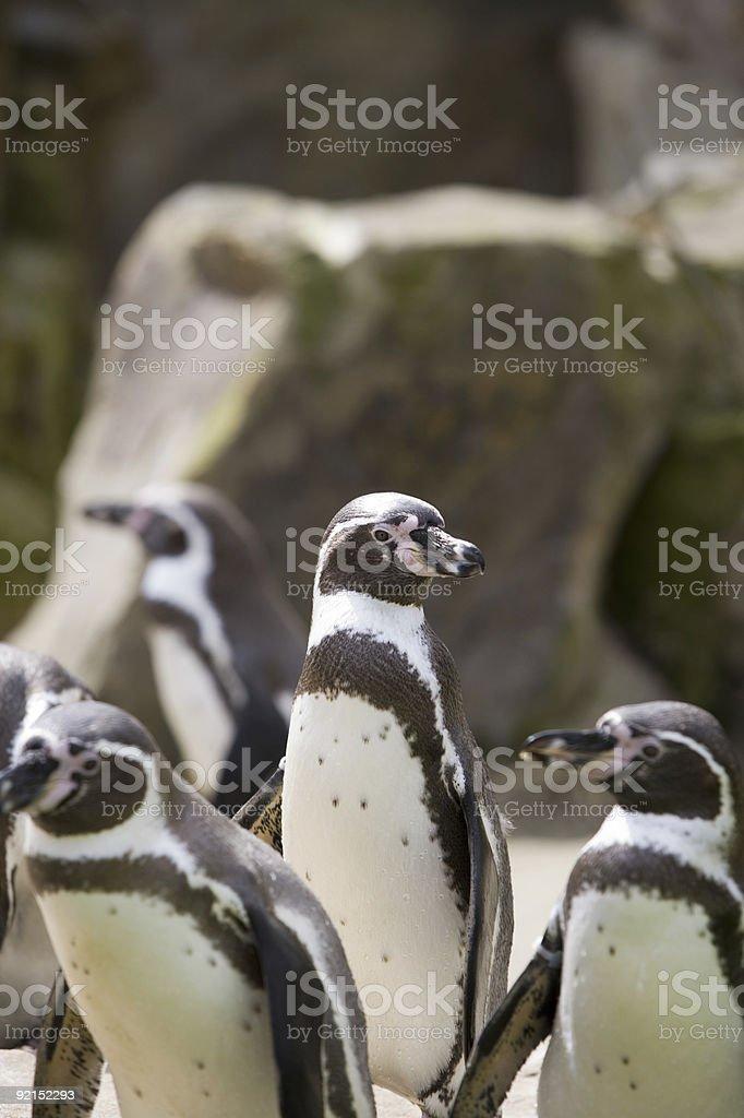 Jakass Penguin royalty-free stock photo