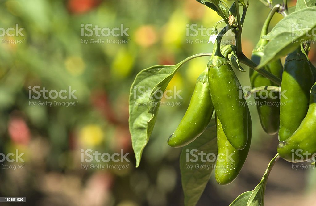 Jalapeno Chile peppers on vine stock photo