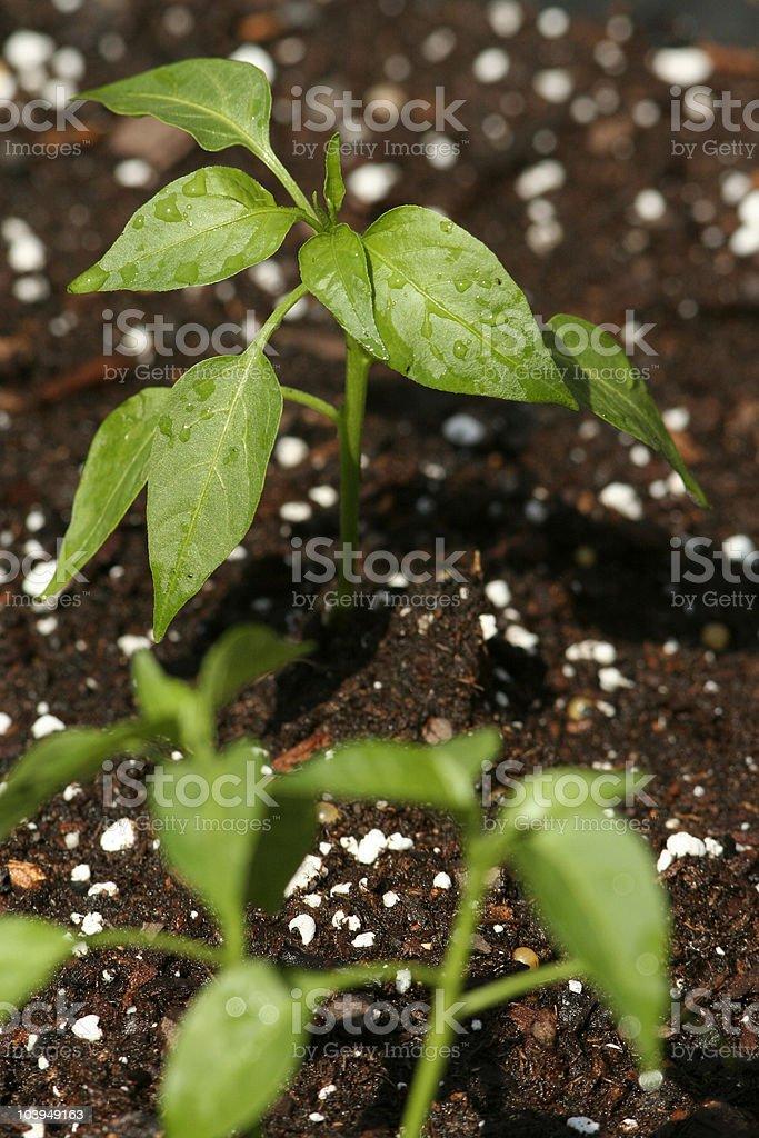 Jalapeno pepper plant wet royalty-free stock photo