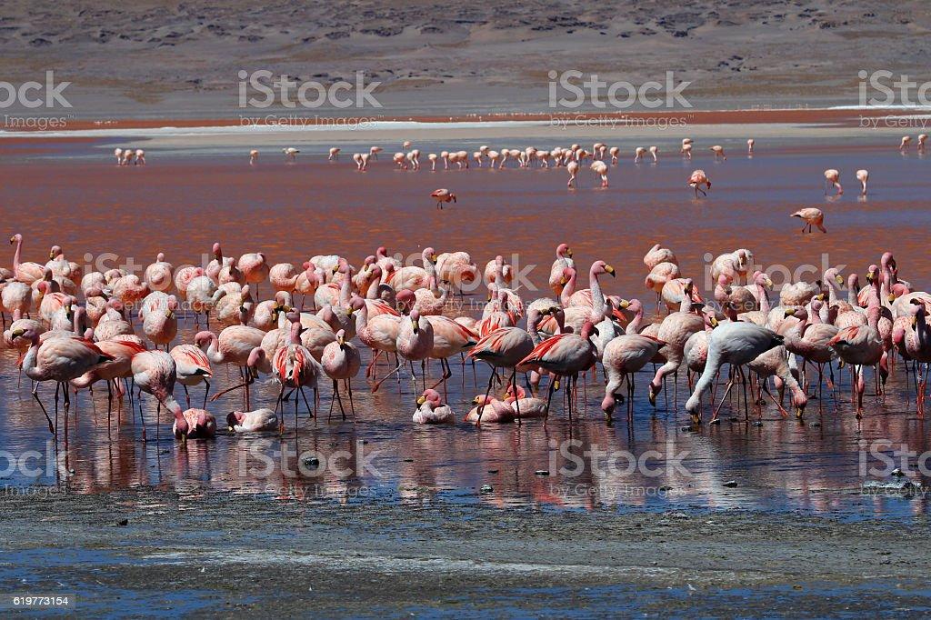 James flamingos, southern Bolivia stock photo
