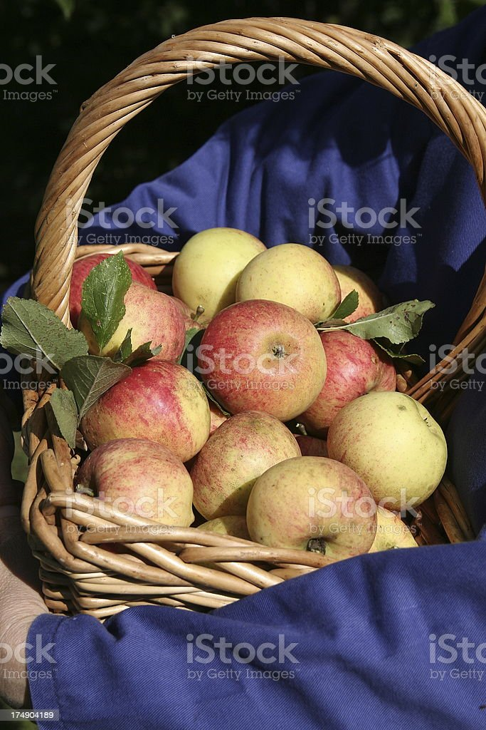 James Grieve apples royalty-free stock photo