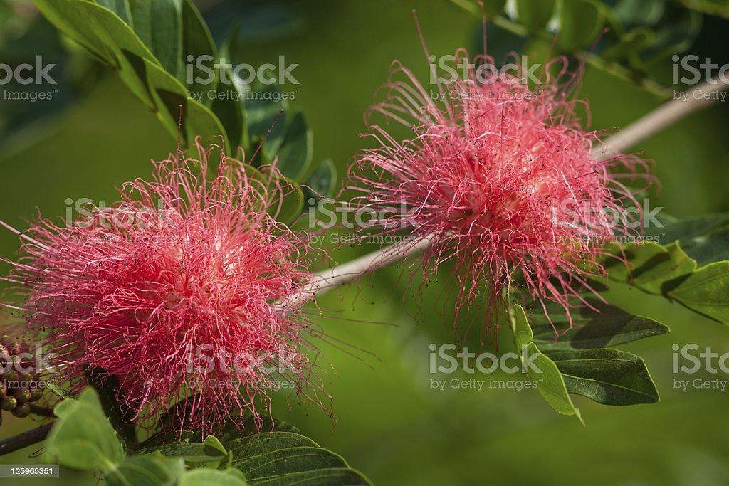 Jamun , Puderquastenstrauch , Powder Puff - Calliandra eriophylla stock photo