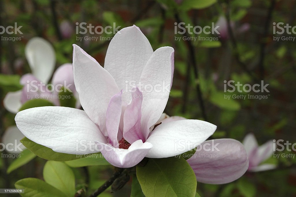 'Jane' Magnolia in Bloom with Copyspace royalty-free stock photo