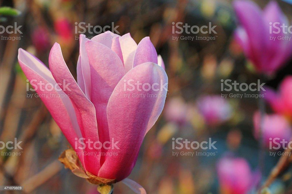 Jane Magnolia Tree In Bloom royalty-free stock photo