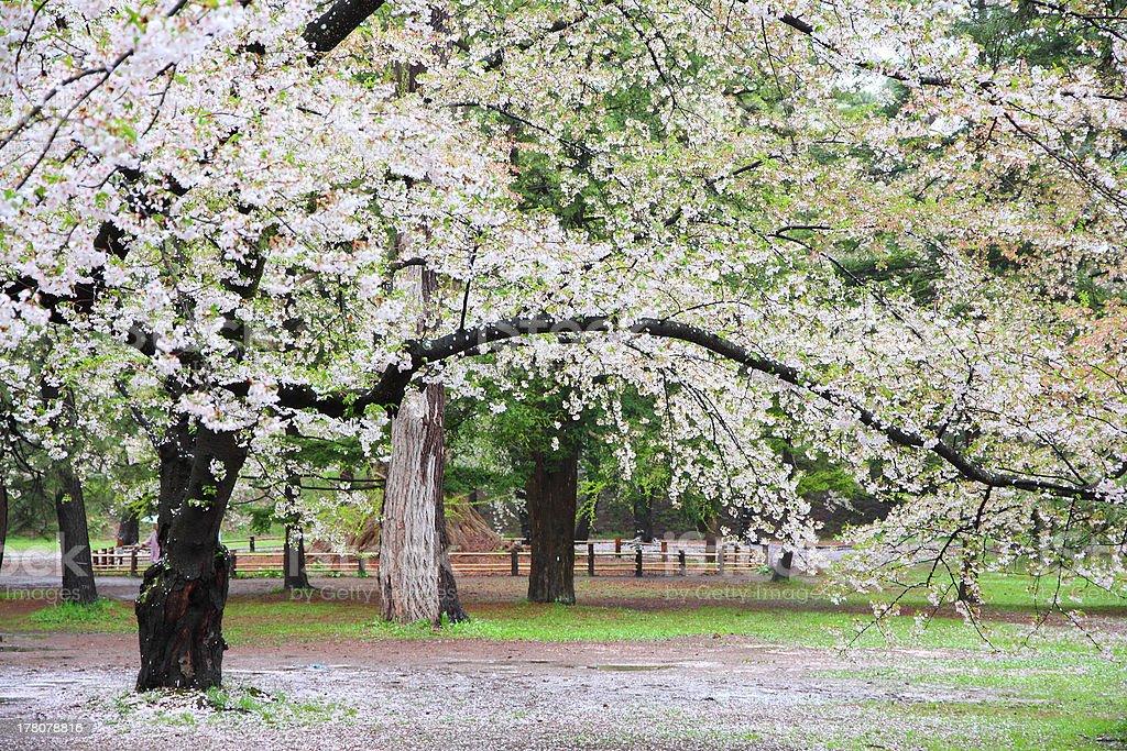 Japan cherry blossom stock photo
