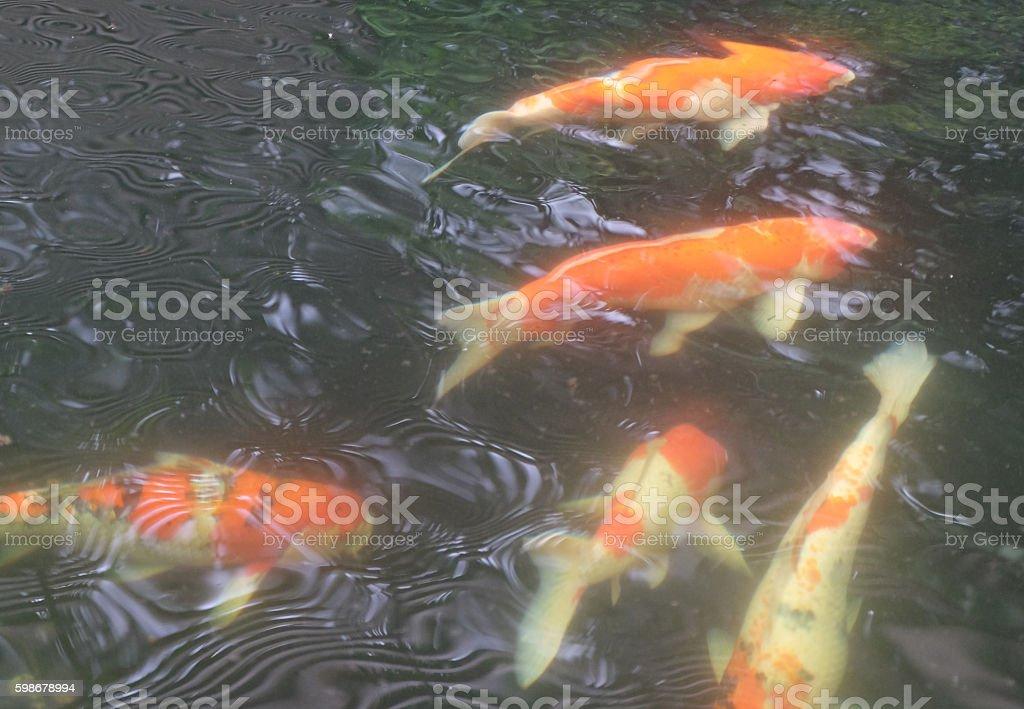 Japan Koi Carp in Koi pond stock photo