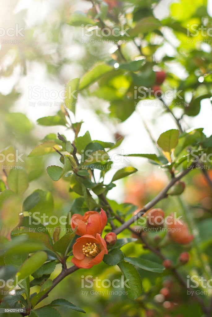 Japan quince is blooming stock photo