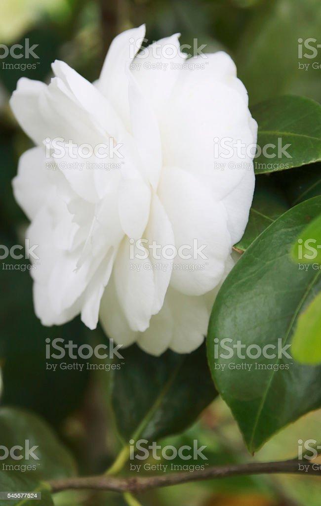 Japan Rose (Camellia reticulata) White Flower stock photo