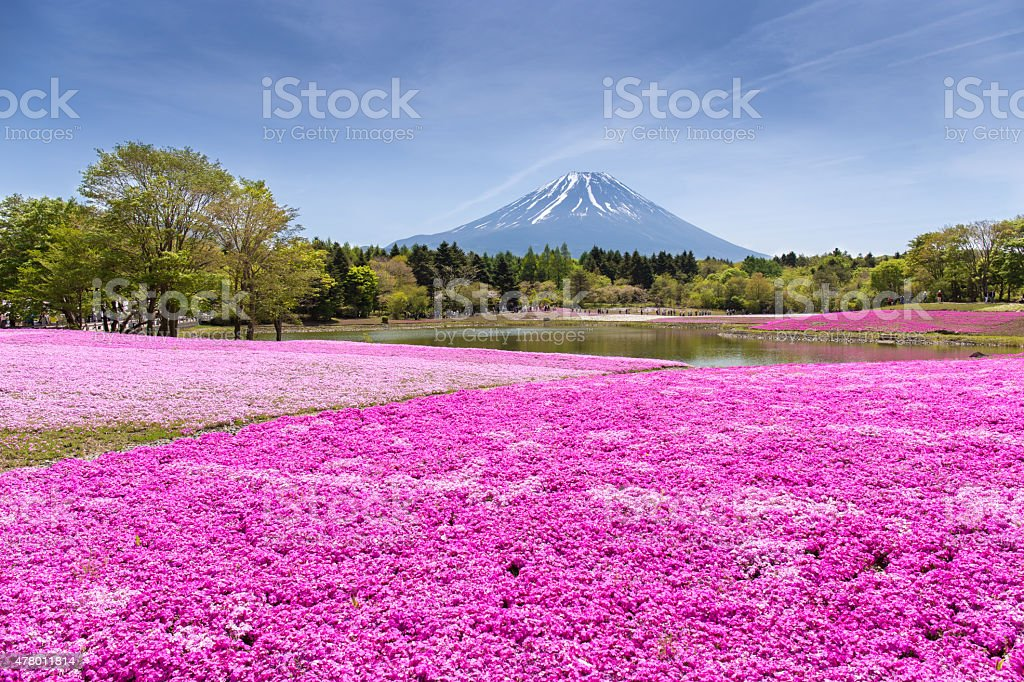 Japan Shibazakura Festival with the field of pink moss stock photo