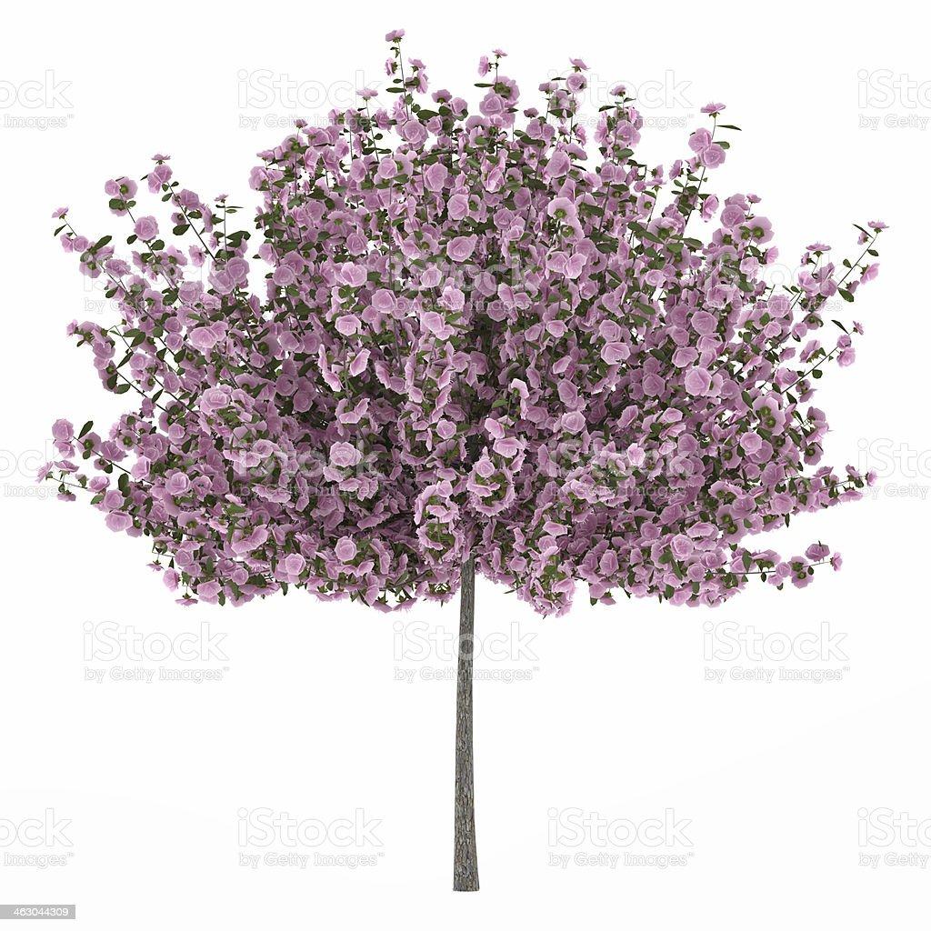 Japan tree sakura isolated royalty-free stock photo